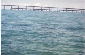 Tarpon Rolling Off Seven Mile Bridge