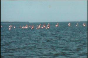 Wild Everglades Flamingos