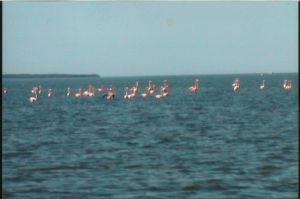 Wild Everglades Flamingos