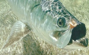 Beautiful Tarpon - The Quarry
