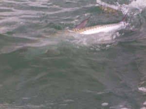 Caught Tarpon