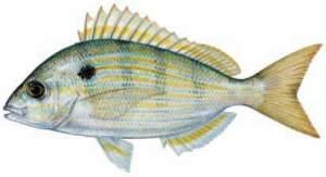 Pinfish Are Great Tarpon Bait