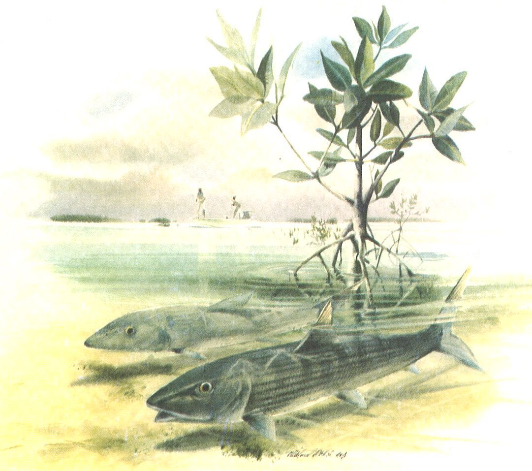 Bonefish in Mangrove Shoots